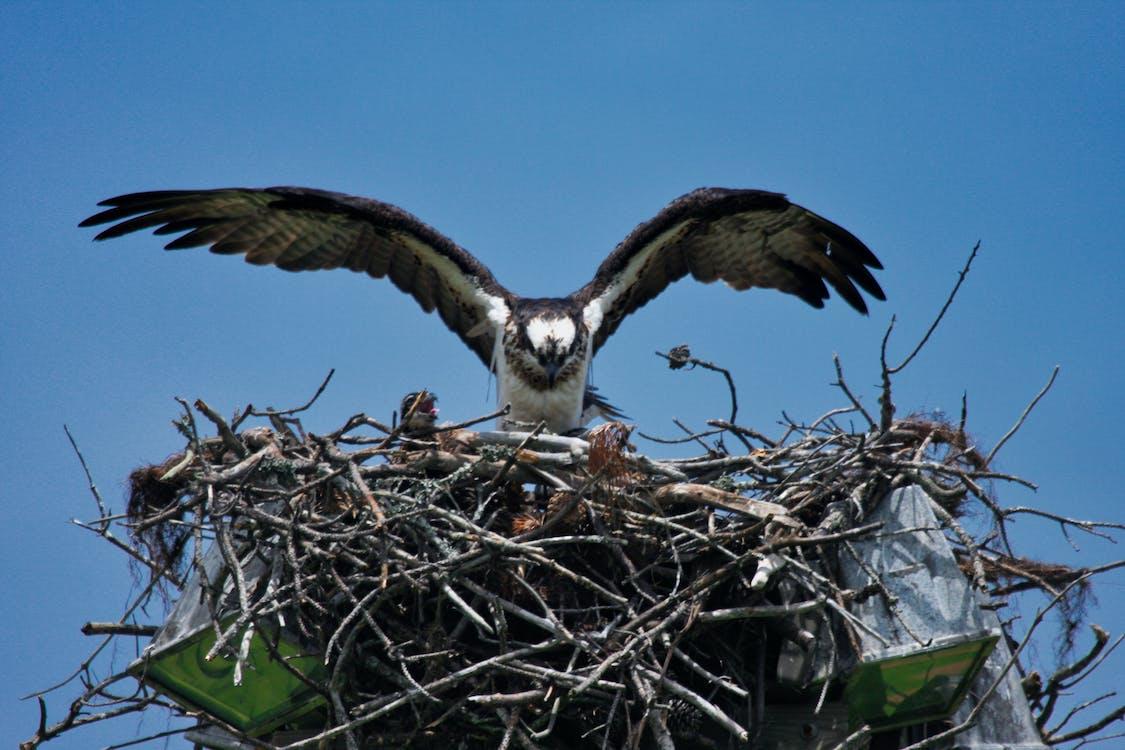 在巢上的魚鷹, 魚鷹, 魚鷹和小雞