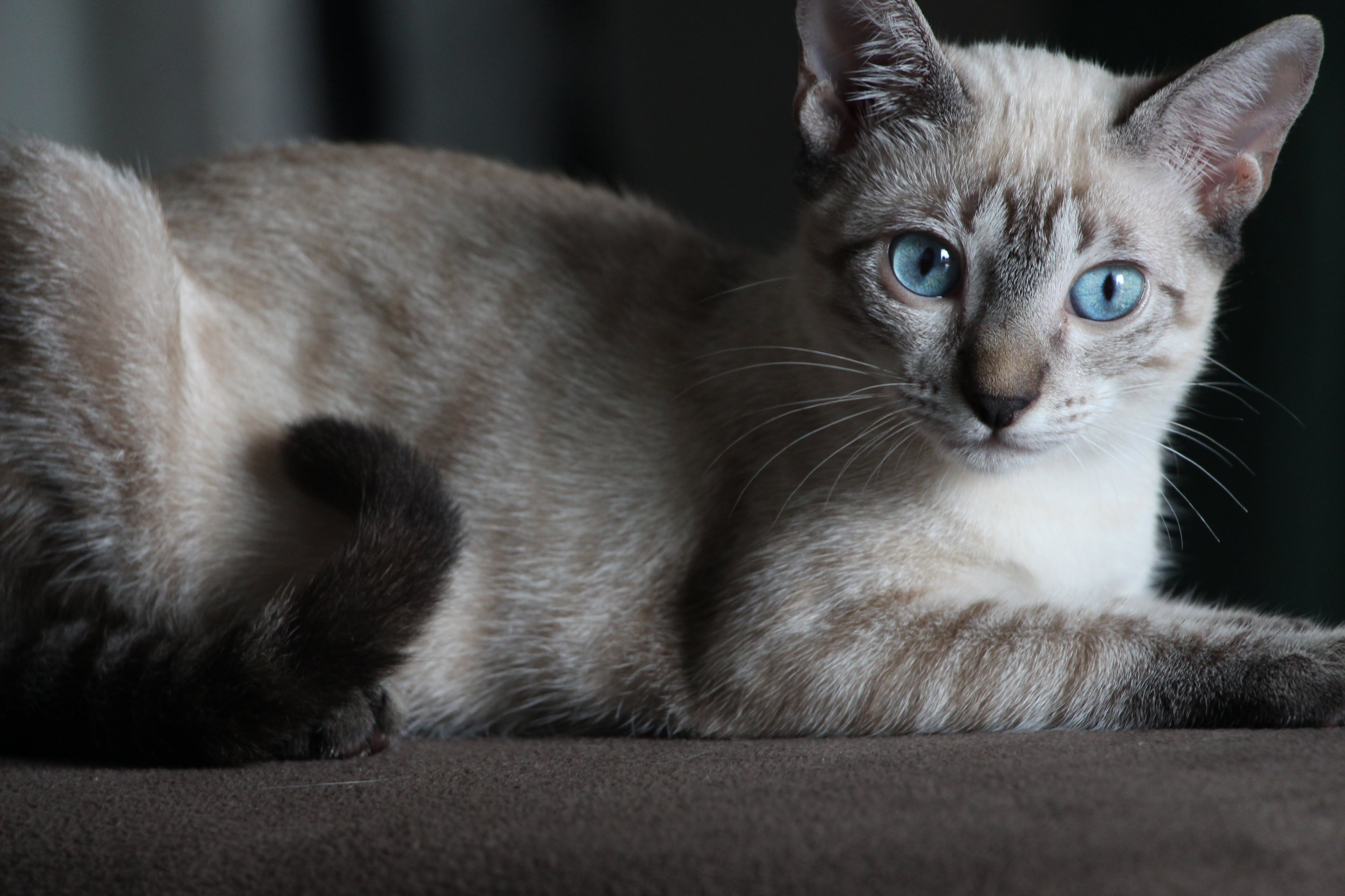 Siamese Cat on Brown Surface