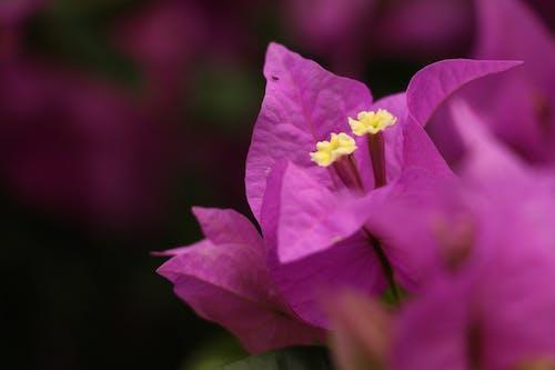 Kostnadsfri bild av blomma, lila blommor, vackra blommor