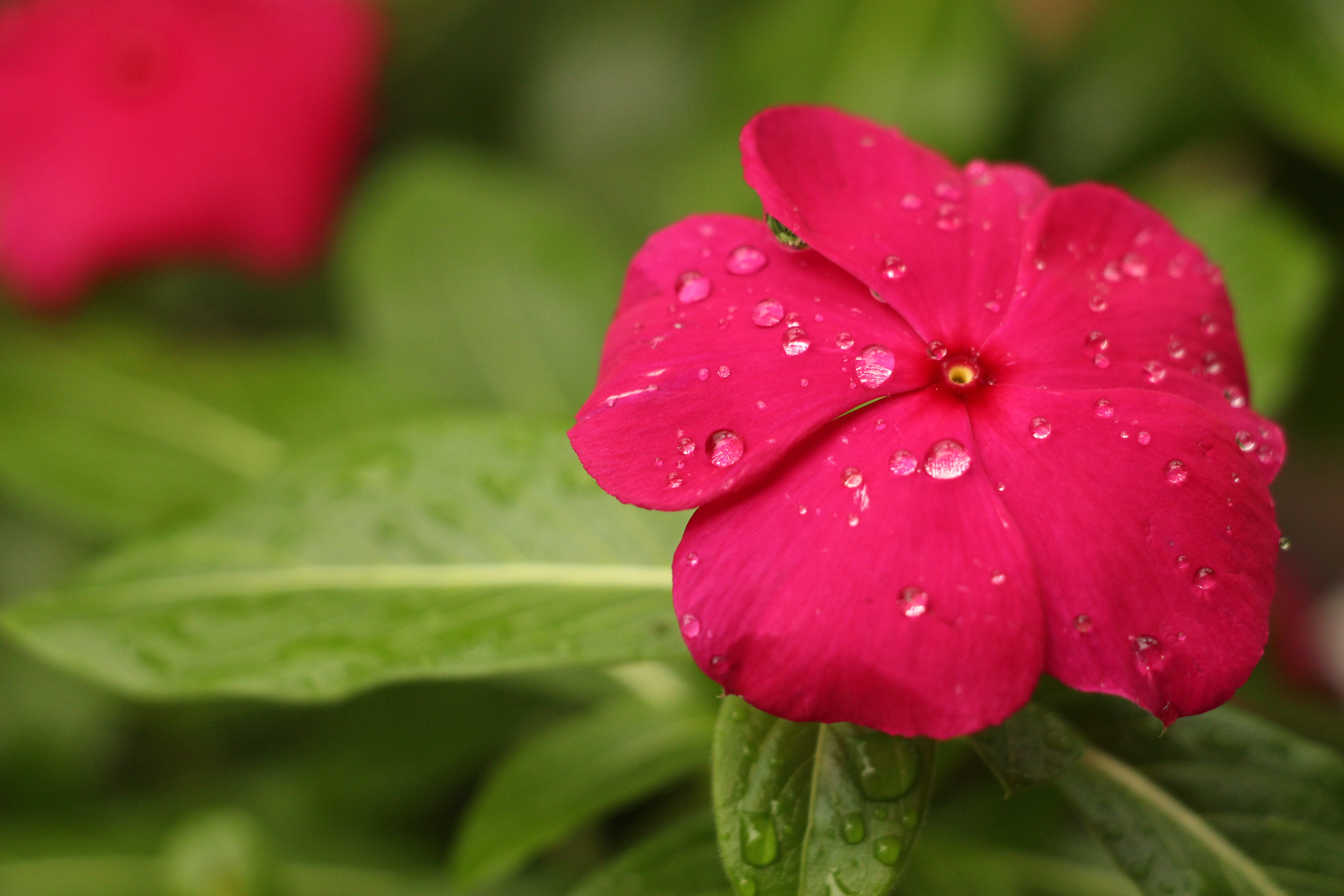 Red Petaled Flower With Rain Drops