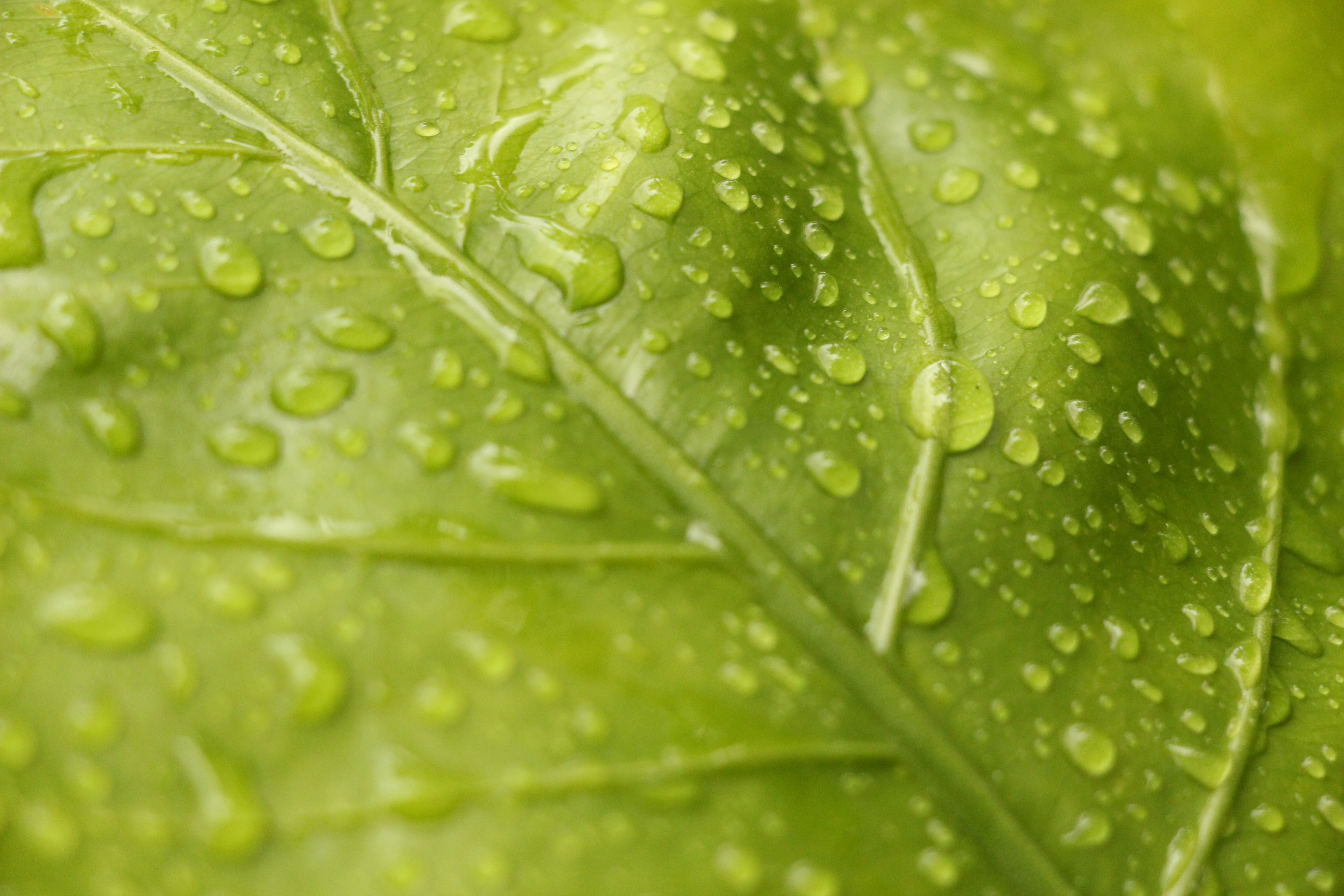 Closeup View of Green Leaf With Rain Drops