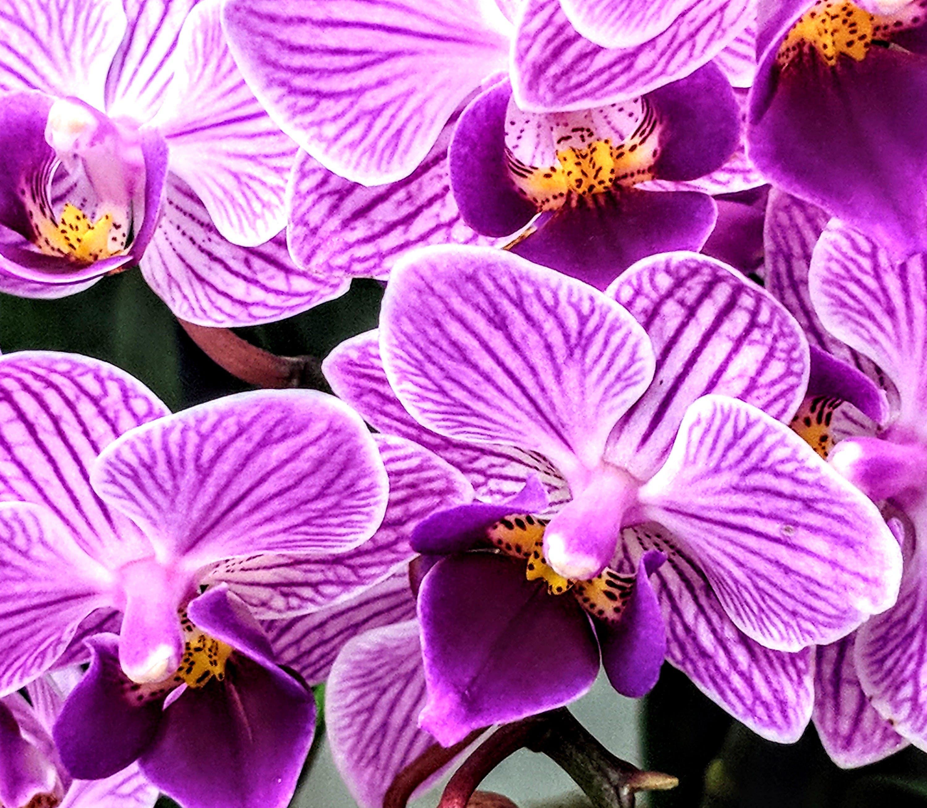 Kostenloses Stock Foto zu blumen, lila, garten, blütenblätter