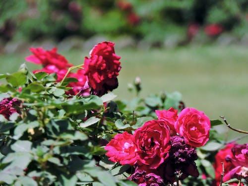 ローズ, 愛, 赤の無料の写真素材