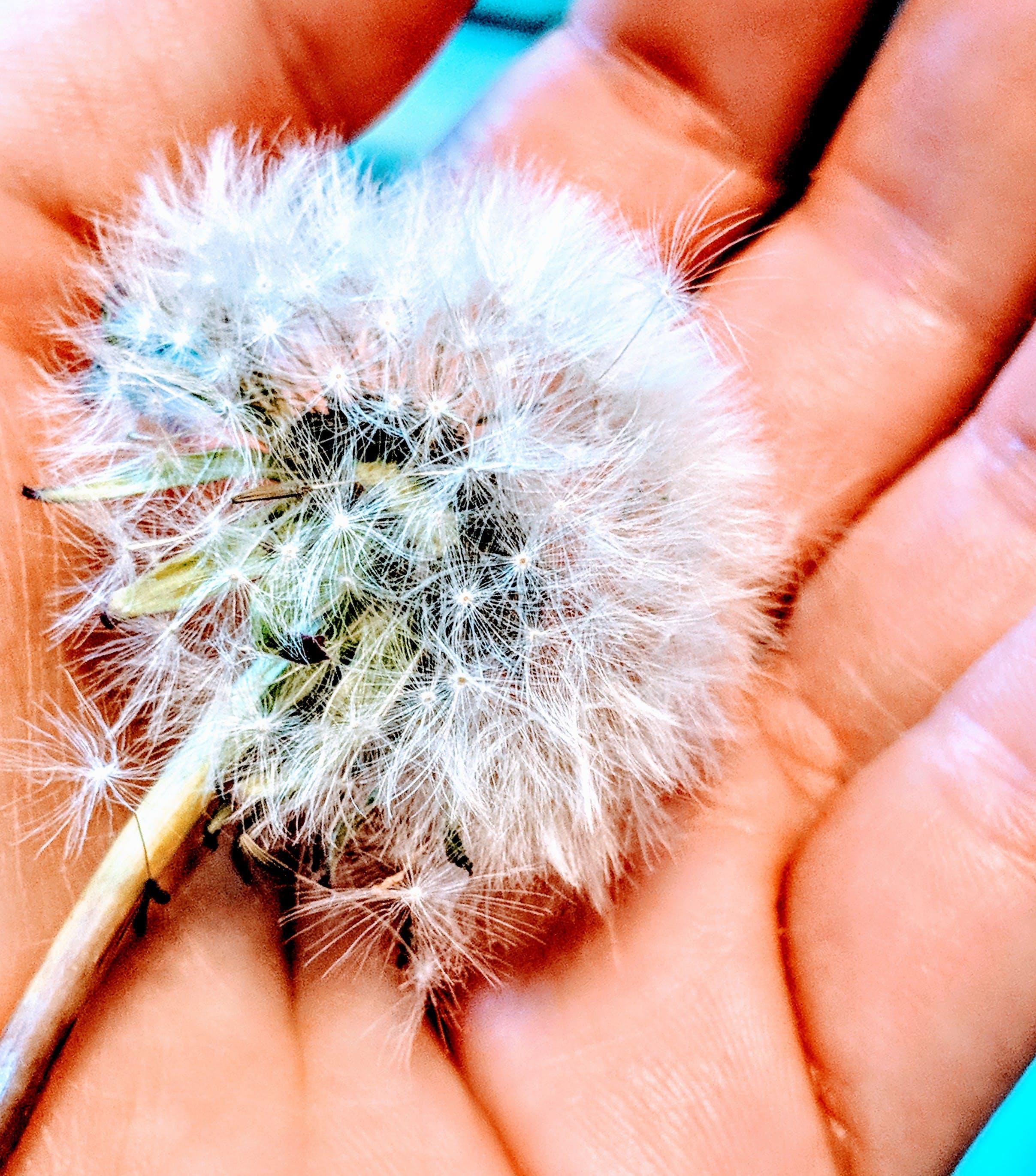 White Dandelion on Person's Hand
