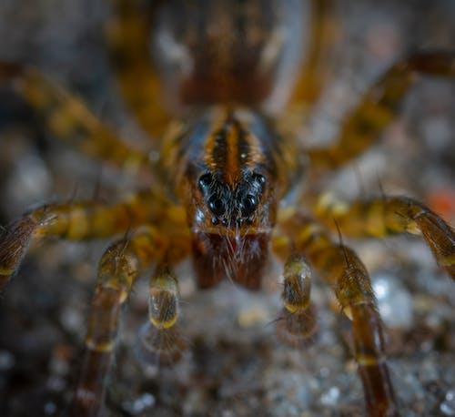 Gratis arkivbilde med dyr, edderkopp, edderkoppdyr, makro