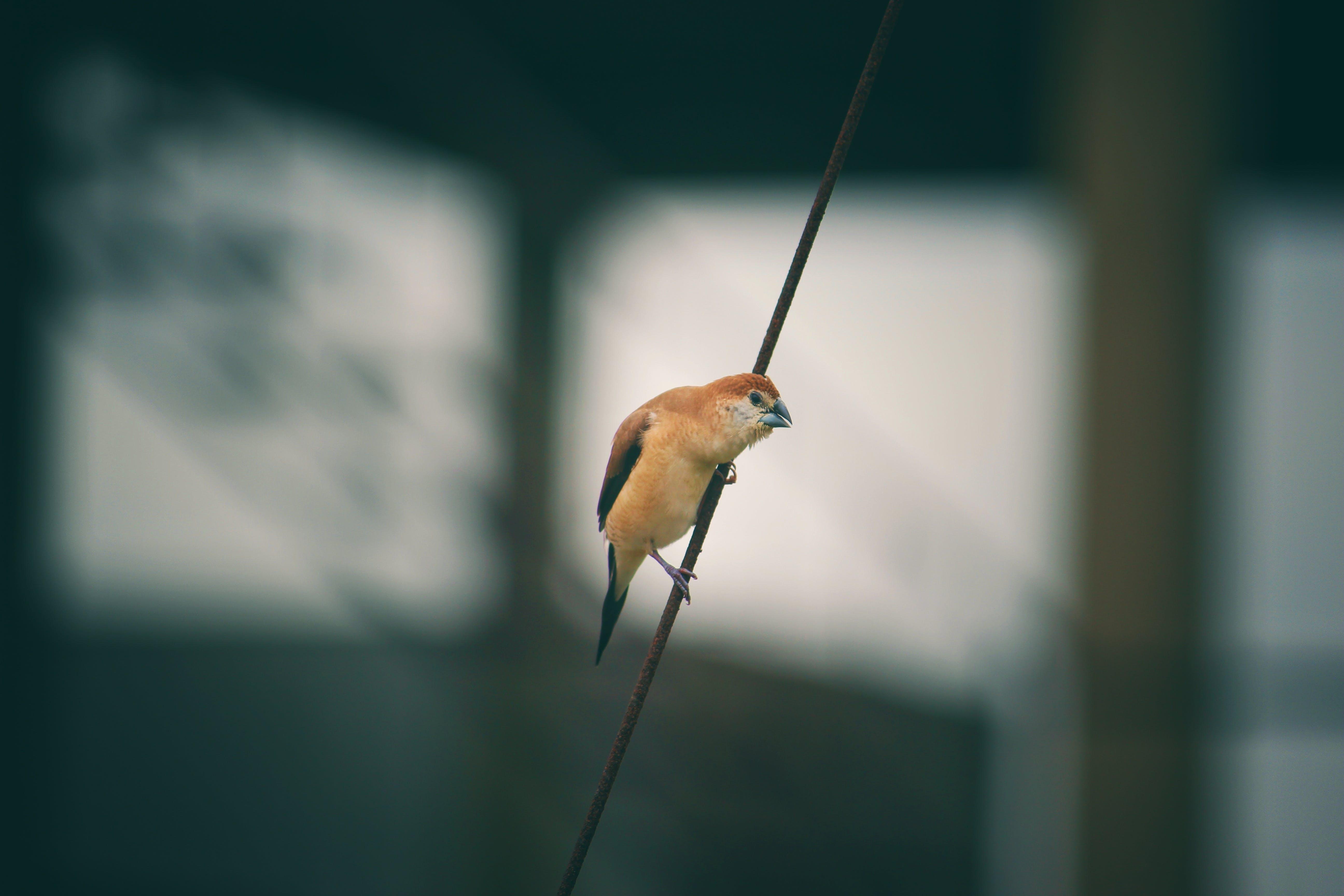 Brown Bird on Black String
