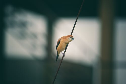 Brown Bird on Black String