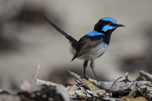Blue and Black Feathered Small Bird Standing