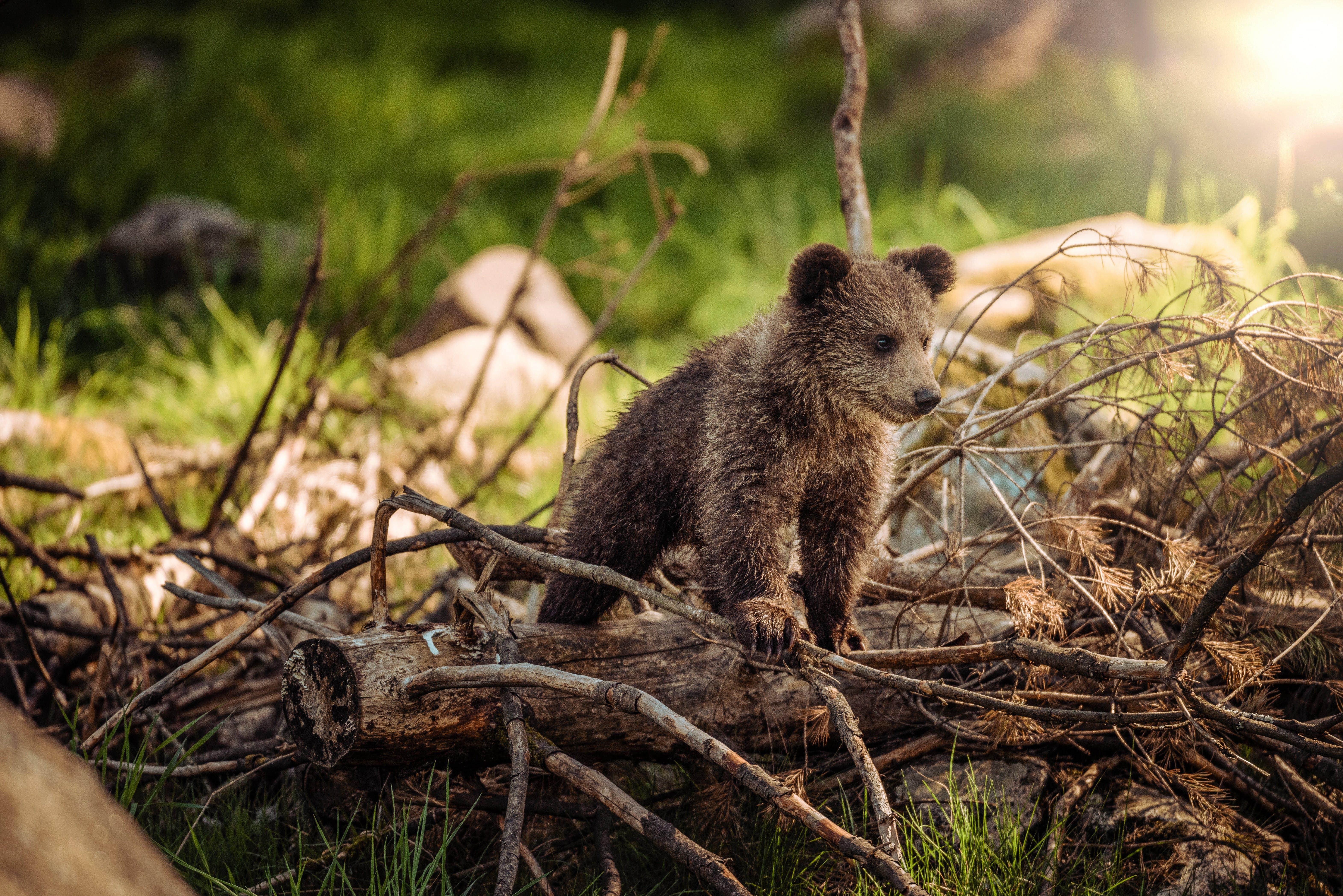 Brown Bear on Brown Wood
