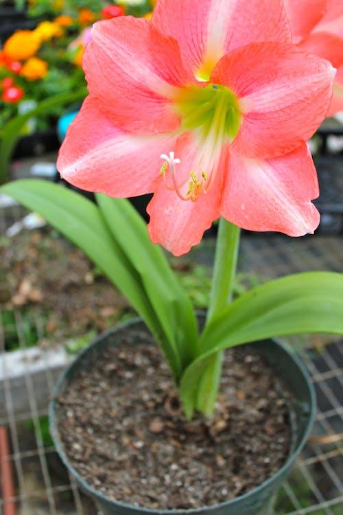 Photos gratuites de centrale, fleur, pots de fleurs, tropical