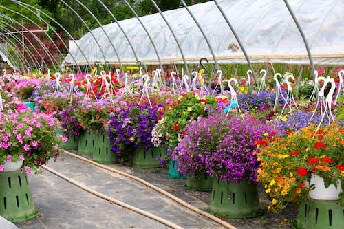 Photos gratuites de fleur, fleur suspendue, fleurs, jardin