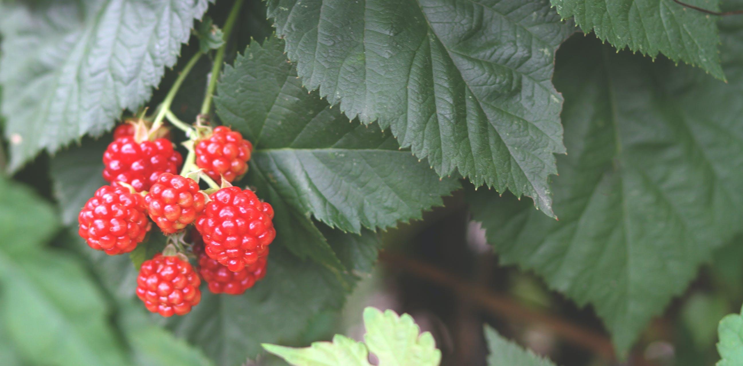 bär, buske, frukt