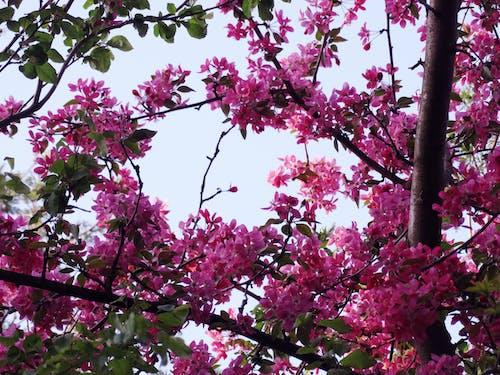 Kostnadsfri bild av blommor, blomning, körsbärsträd, träd