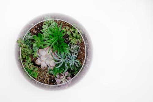 Ingyenes stockfotó aromás, botanikus, copyspace témában