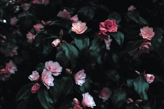 1000 interesting pink flowers photos pexels free stock photos pink flowers photograph mightylinksfo