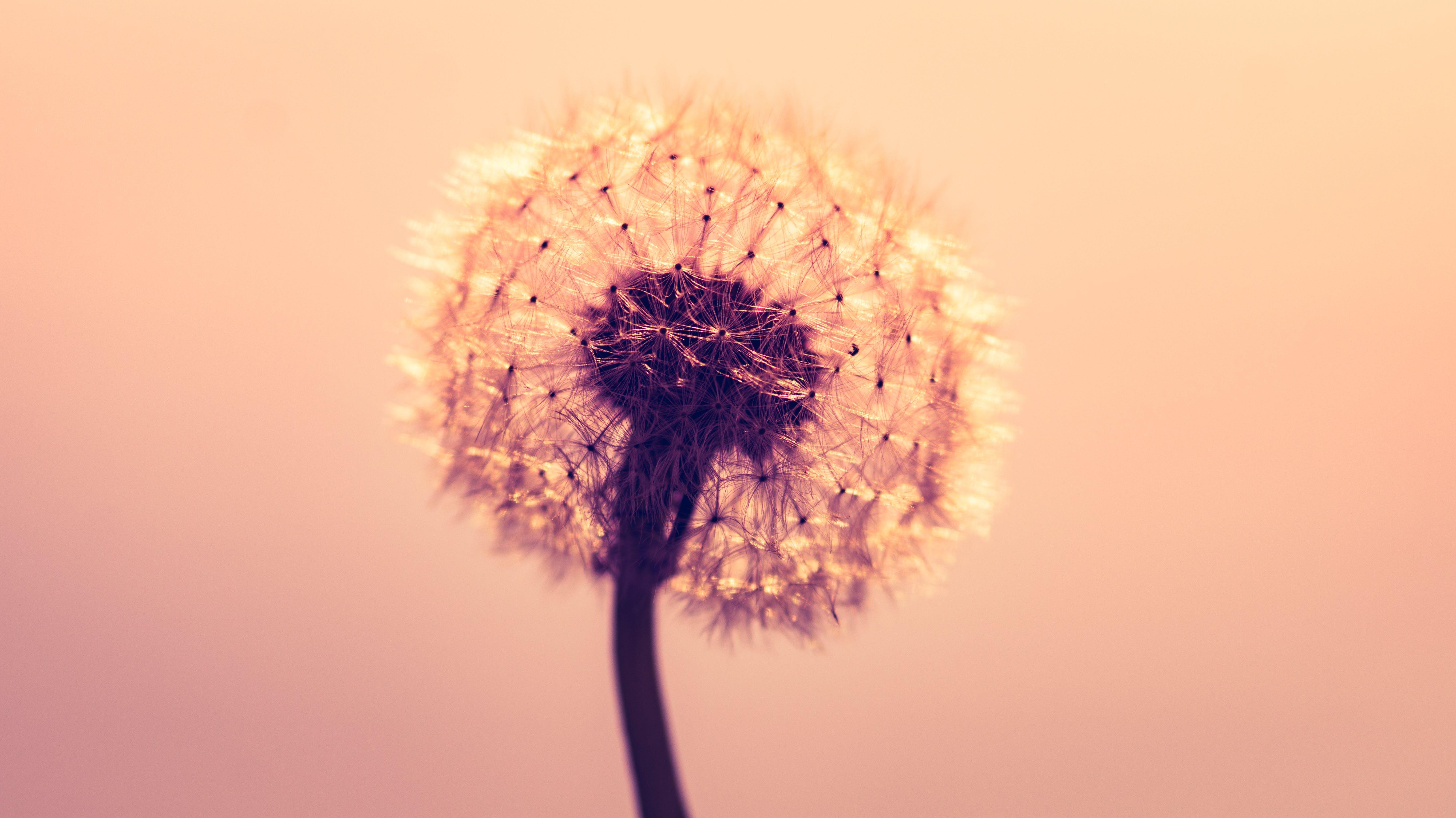 Macro Shot Photography of Dandelion