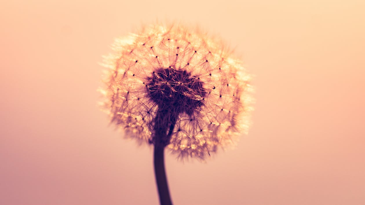 Macro Shot Photography of Dandelion