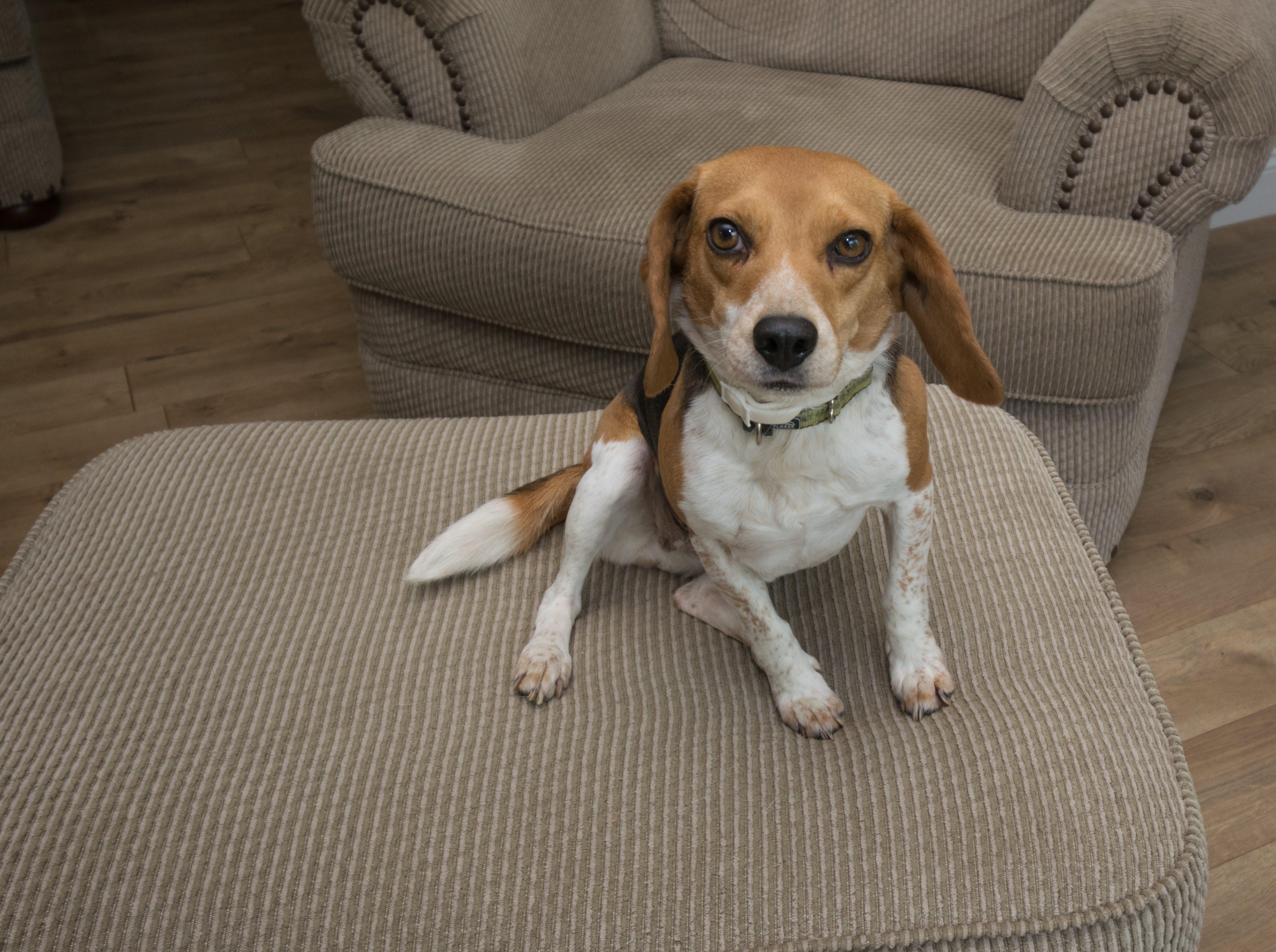 Free stock photo of animals, pets, home, beagle