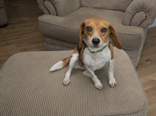Gratis stockfoto met beagle, beesten, hond schattig, huisdieren