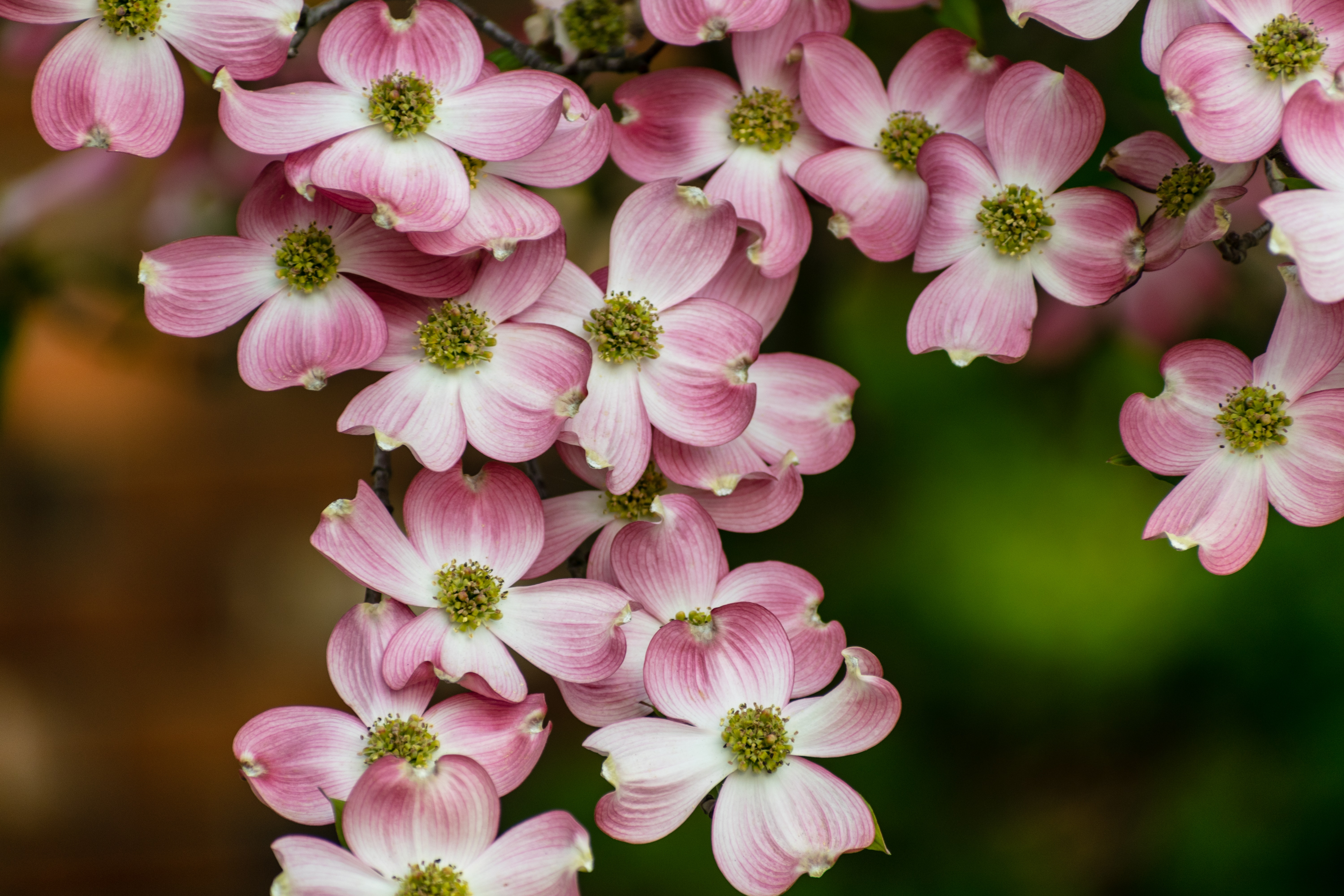 Free Stock Photo Of Blossoms Dogwood Flower