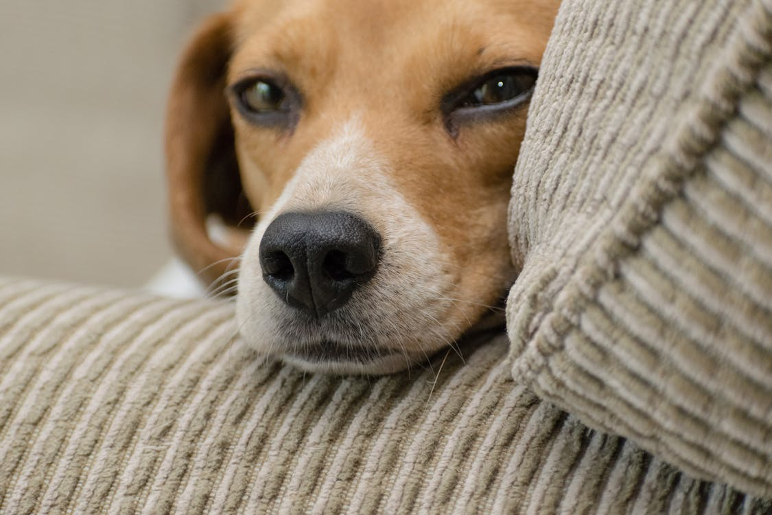 Close-up Photo of Beagle Resting Head on Armrest