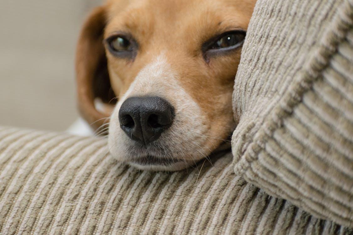 Close-up Photo of Beagle Resting Head on Armrest