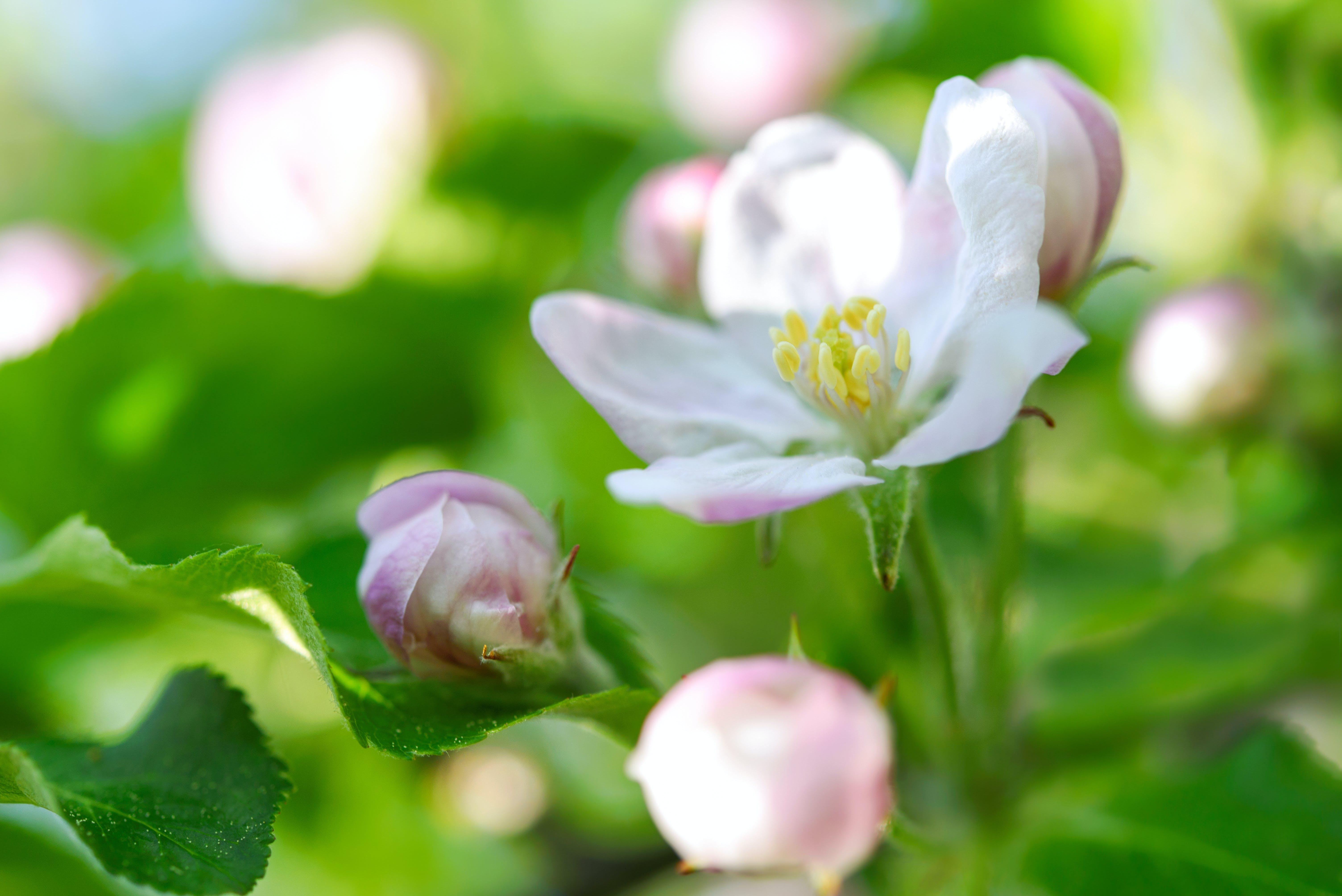 apple blossom, apple tree, april