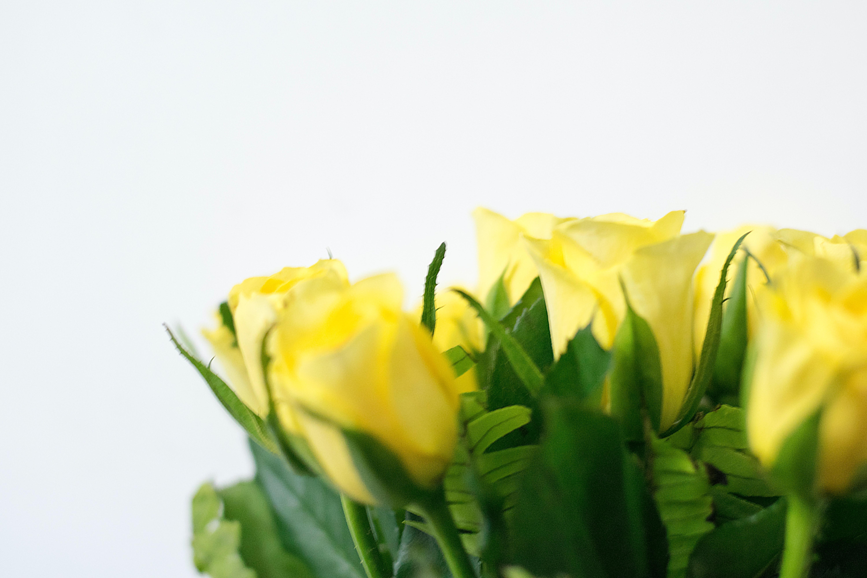 Yellow Roses Free Stock Photo