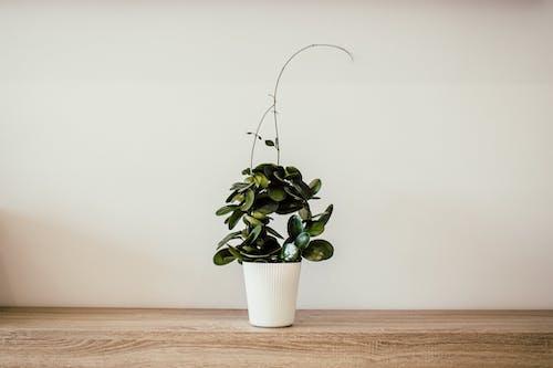 Fotobanka sbezplatnými fotkami na tému dekorácia, dekoratívna rastlina, dom
