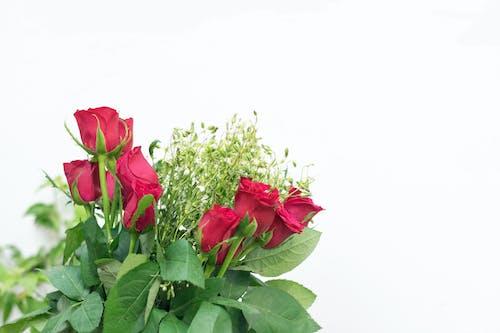 照片, 紅玫瑰, 股市, 資料圖片 的 免費圖庫相片