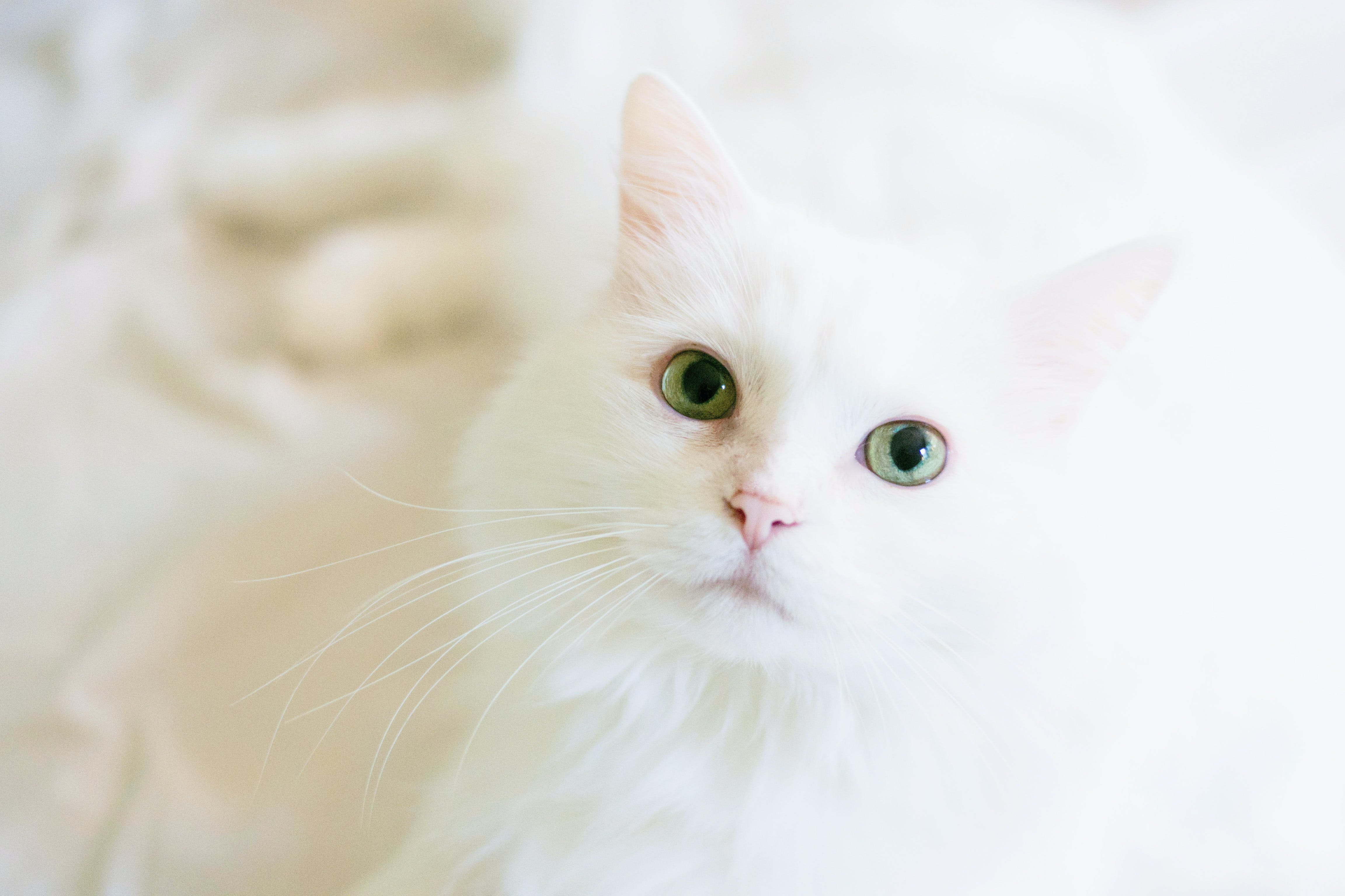 Long-fur White Cat