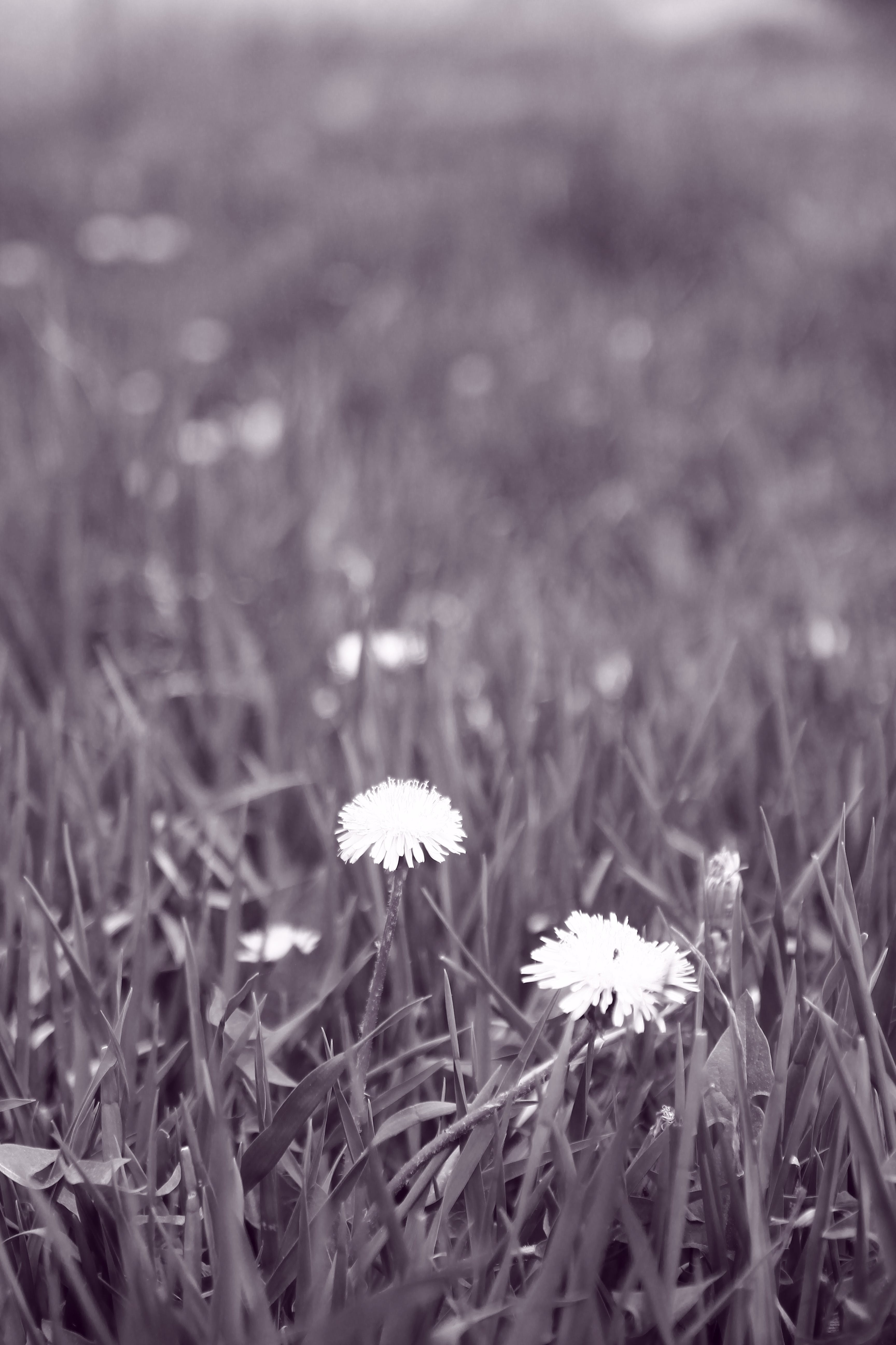 Free stock photo of black and white, blossoming, dandelion, garden