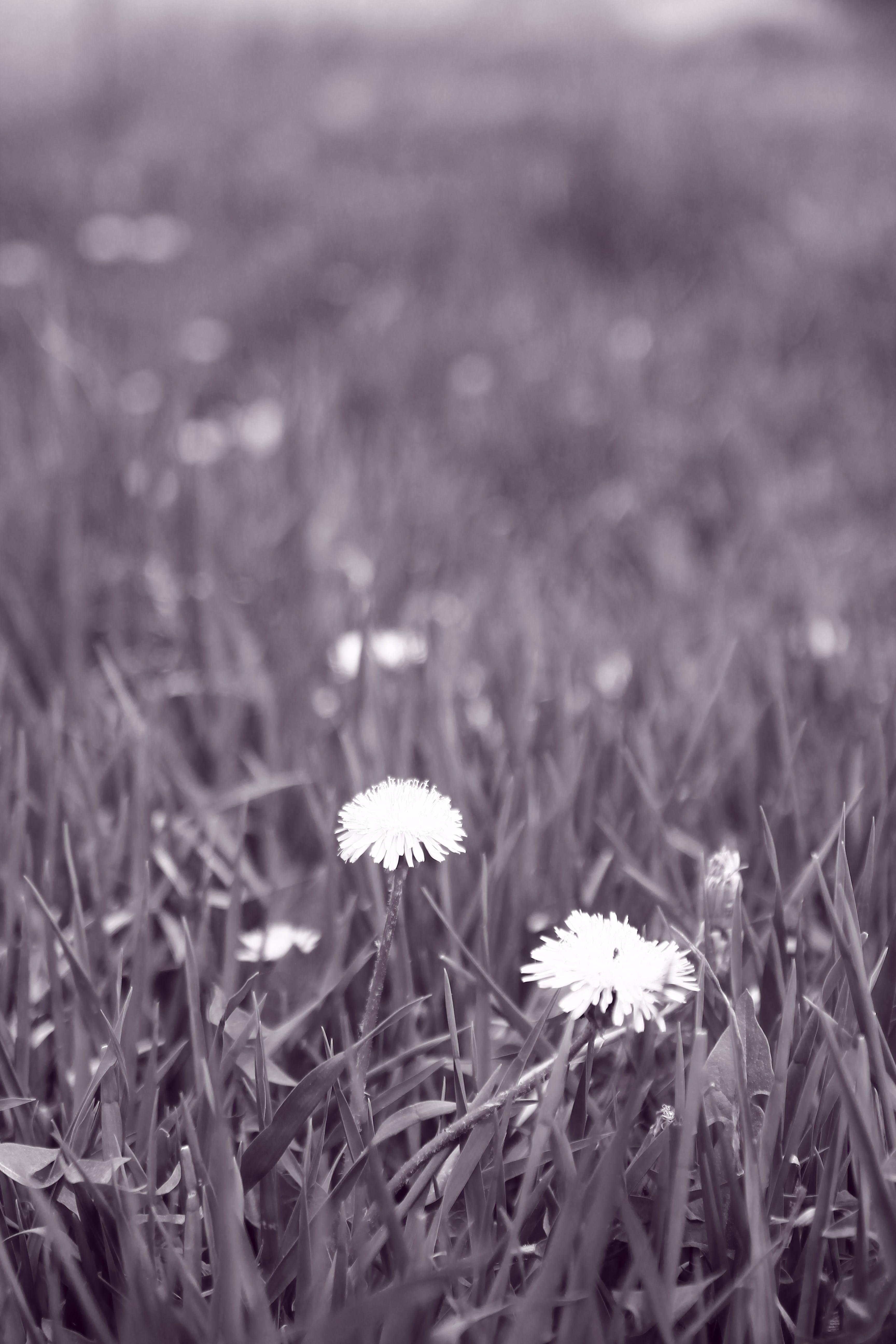 Δωρεάν στοκ φωτογραφιών με γρασίδι, καλλιέργεια, κήπος, πικραλίδα