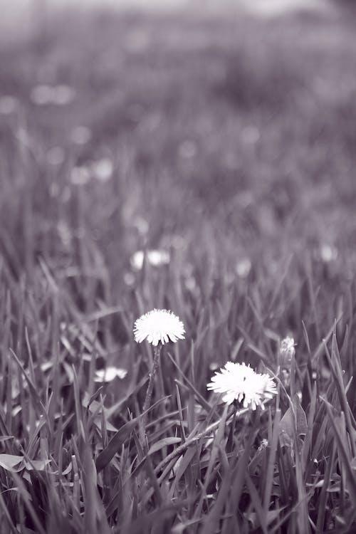 Gratis arkivbilde med gress, hage, løvetann, vegg