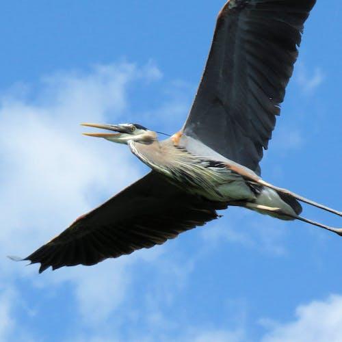 Fotos de stock gratuitas de alas, garza, gbh, gran garza azul
