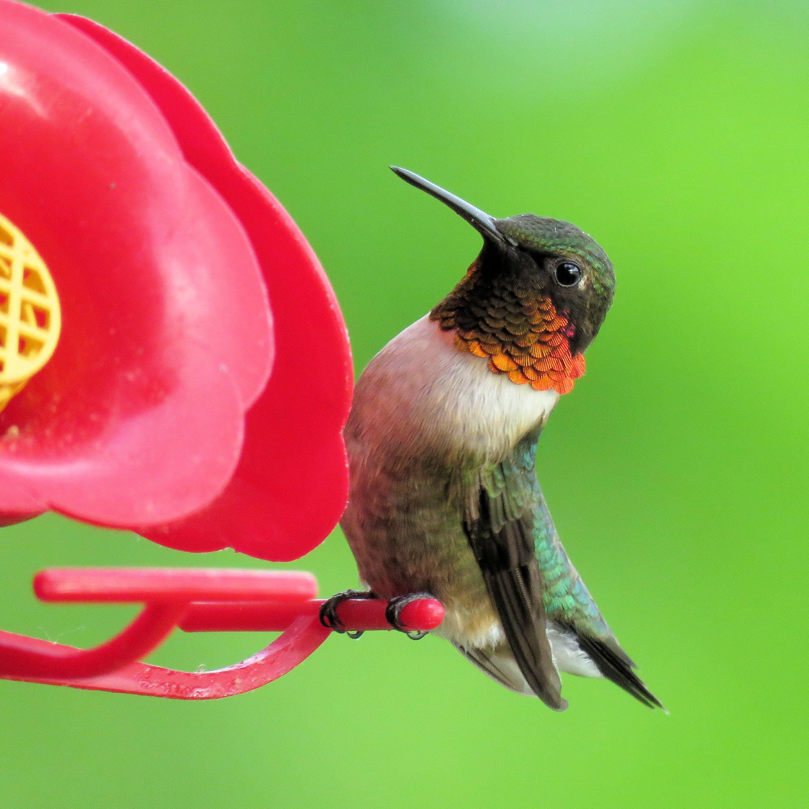 Free stock photo of bird, hummingbird, ruby throated hummingbird, feeder