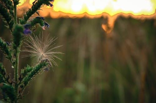 Δωρεάν στοκ φωτογραφιών με βότανο, δύση του ηλίου, λιβάδι, πούδρα πικραλίδα