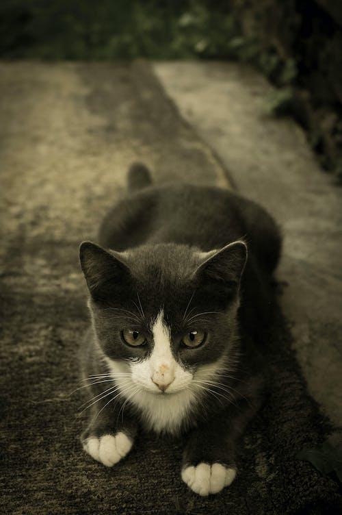 Kostenloses Stock Foto zu auge, haustier, kätzchen, katze