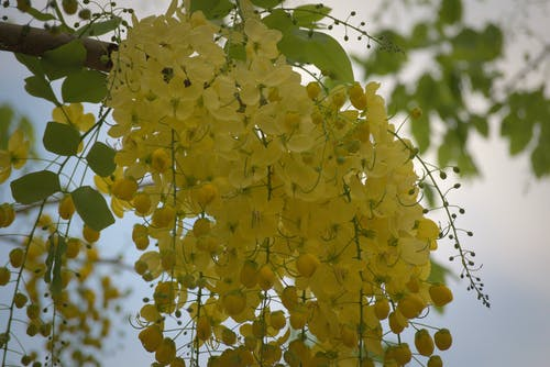 Free stock photo of canafistula, Cassia Fistula, Golden rain tree