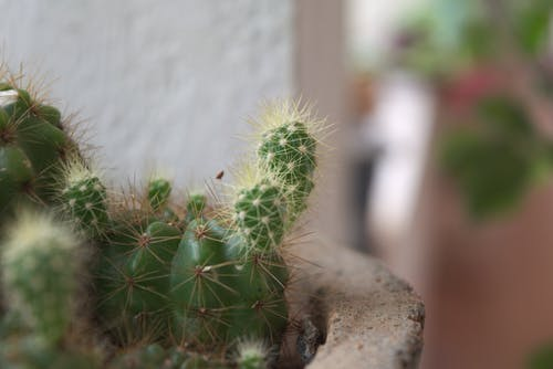 Free stock photo of cactus, cactus plant