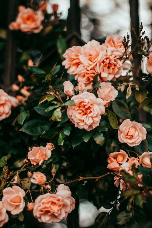 blomst, farve, kronblad