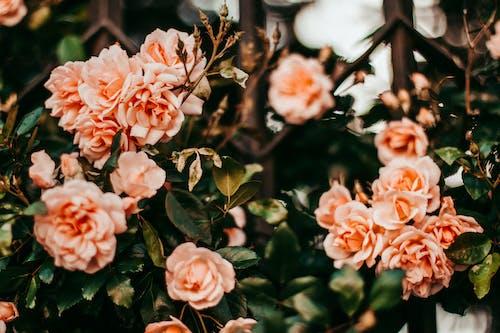 ローズ, 庭園, 色, 花の無料の写真素材