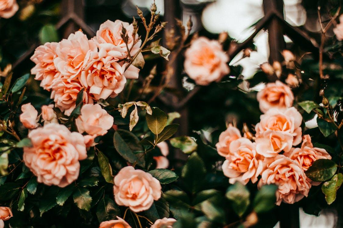Shallow Focus Photo of Orange Roses
