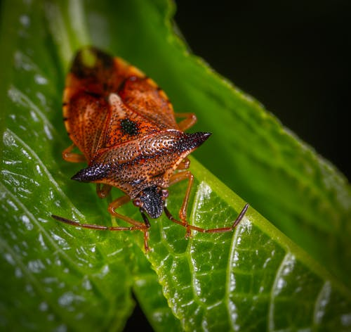Macro Photography of Red Stink Bug Perched on Green Leaf