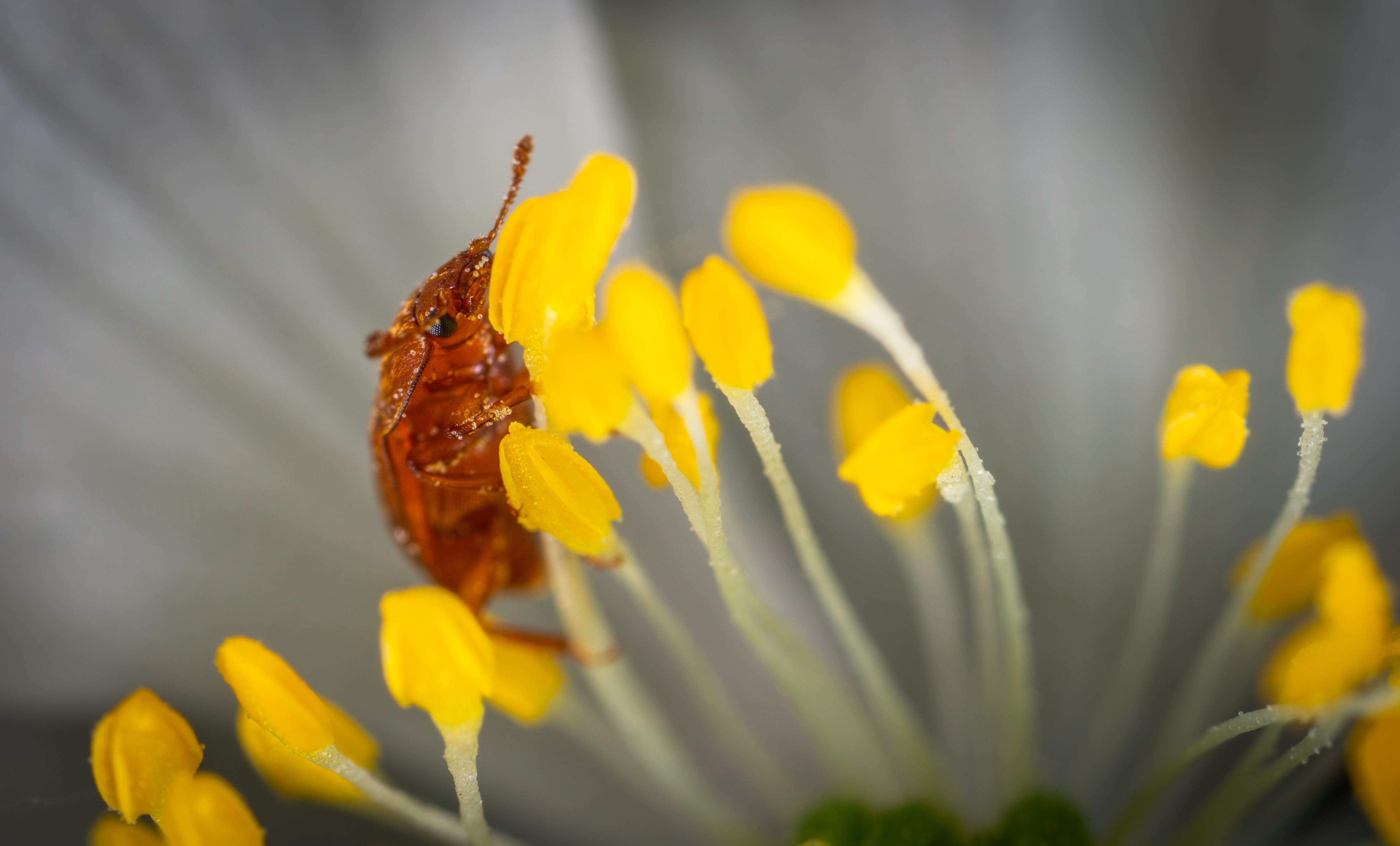 Brown Beetle on Yellow Petaled Flowers