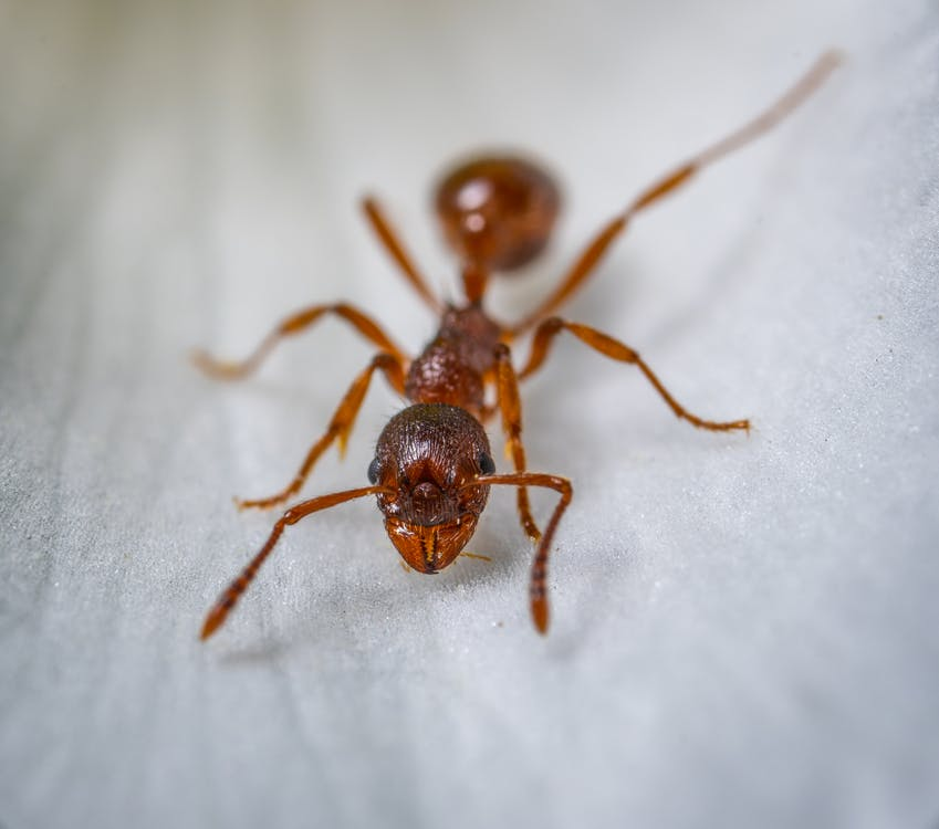 Red Ant Macro Photography