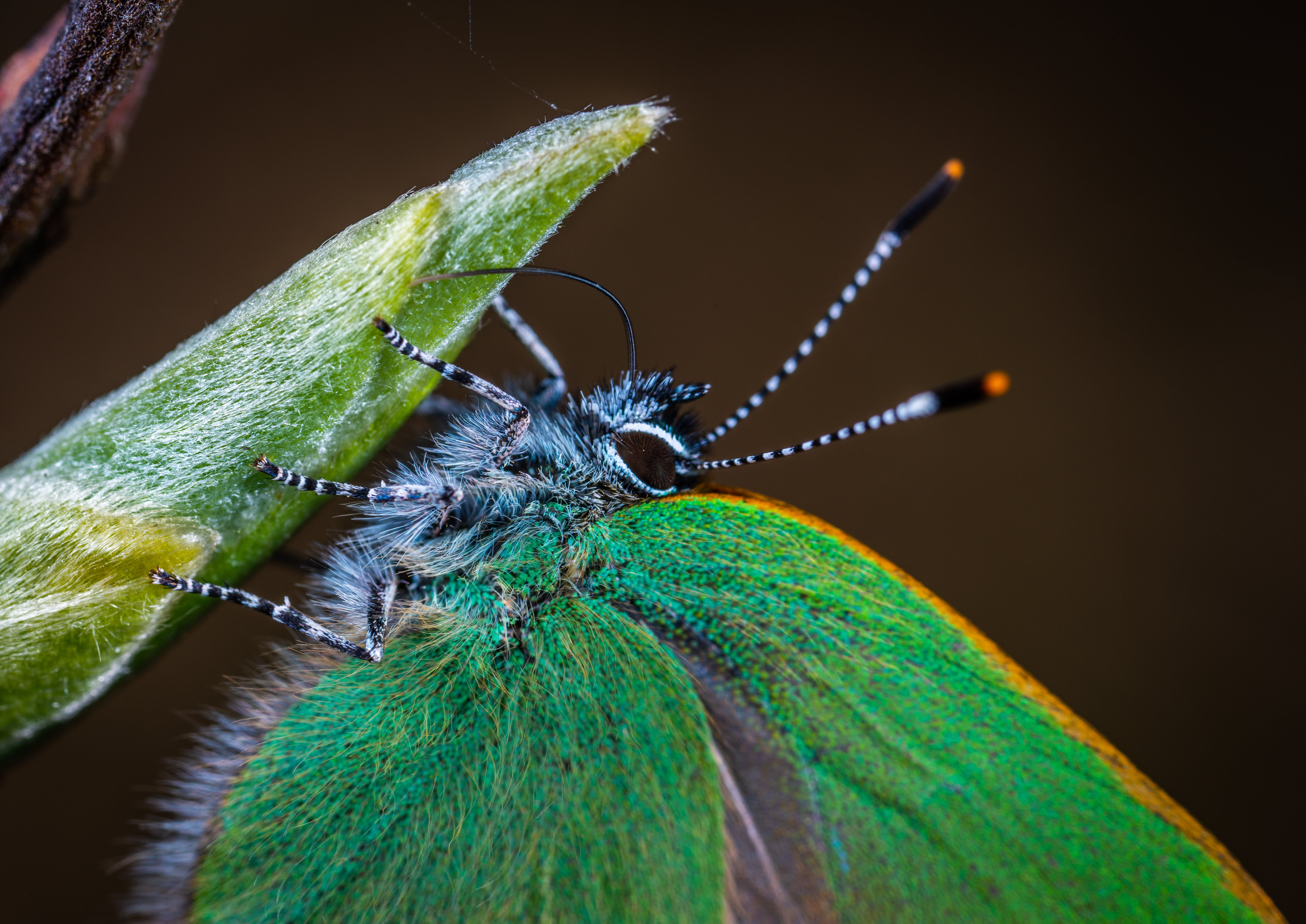 Macro Photo of Green Moth on Leaf Plant