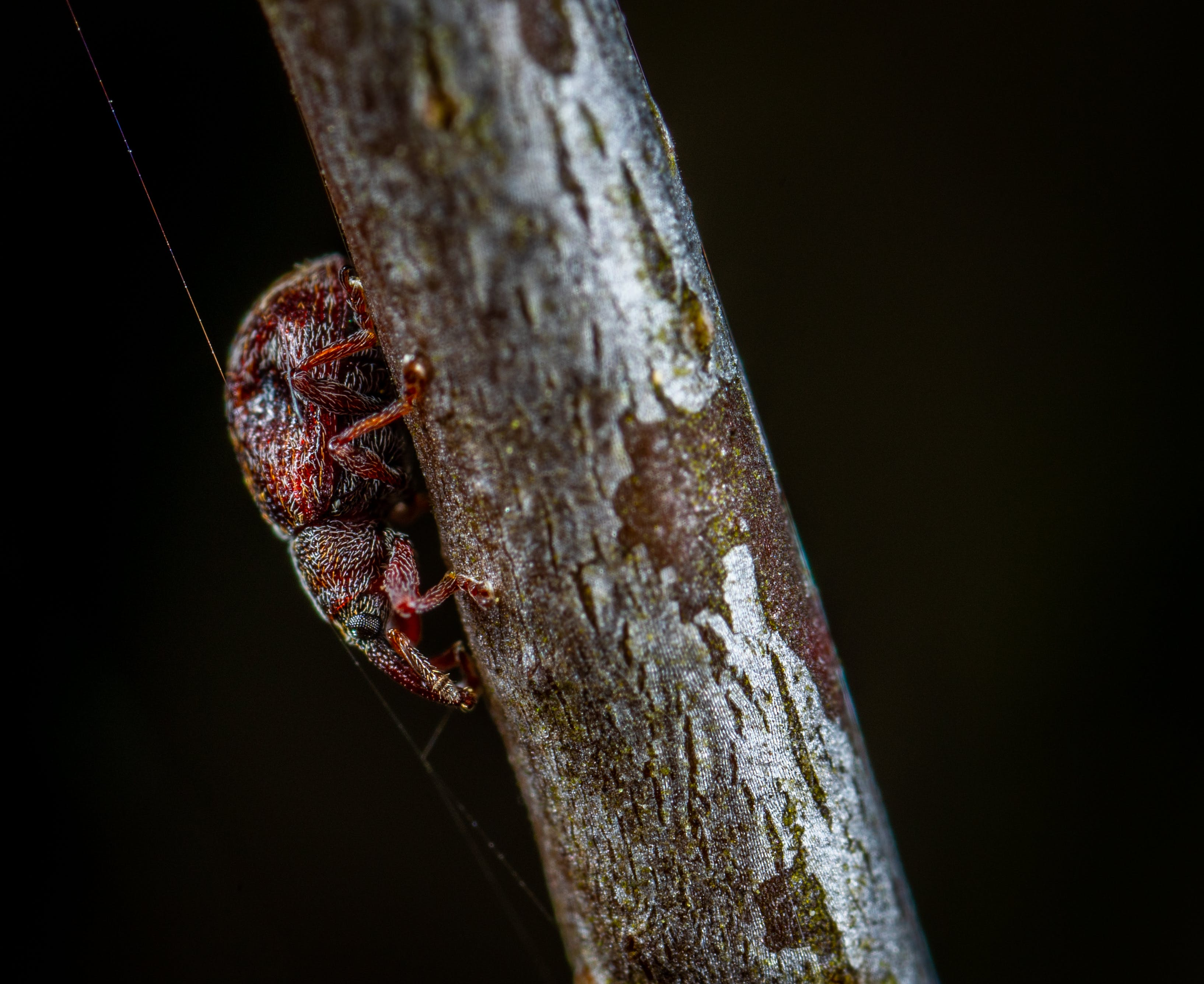 Macro Photo of Red Tree Hopper on Brown Wooden Stem