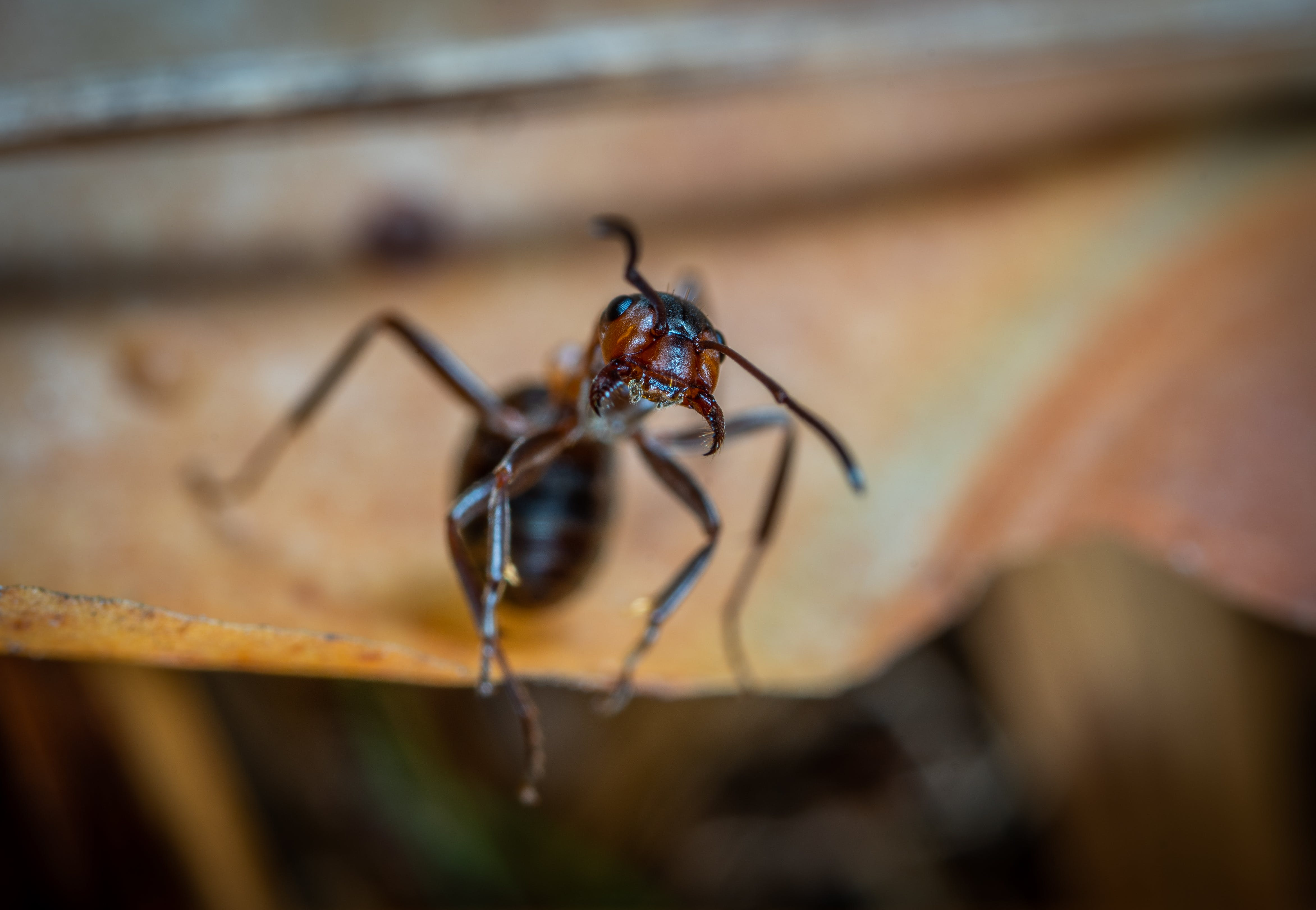 Macro Photo of Brown Army Ant