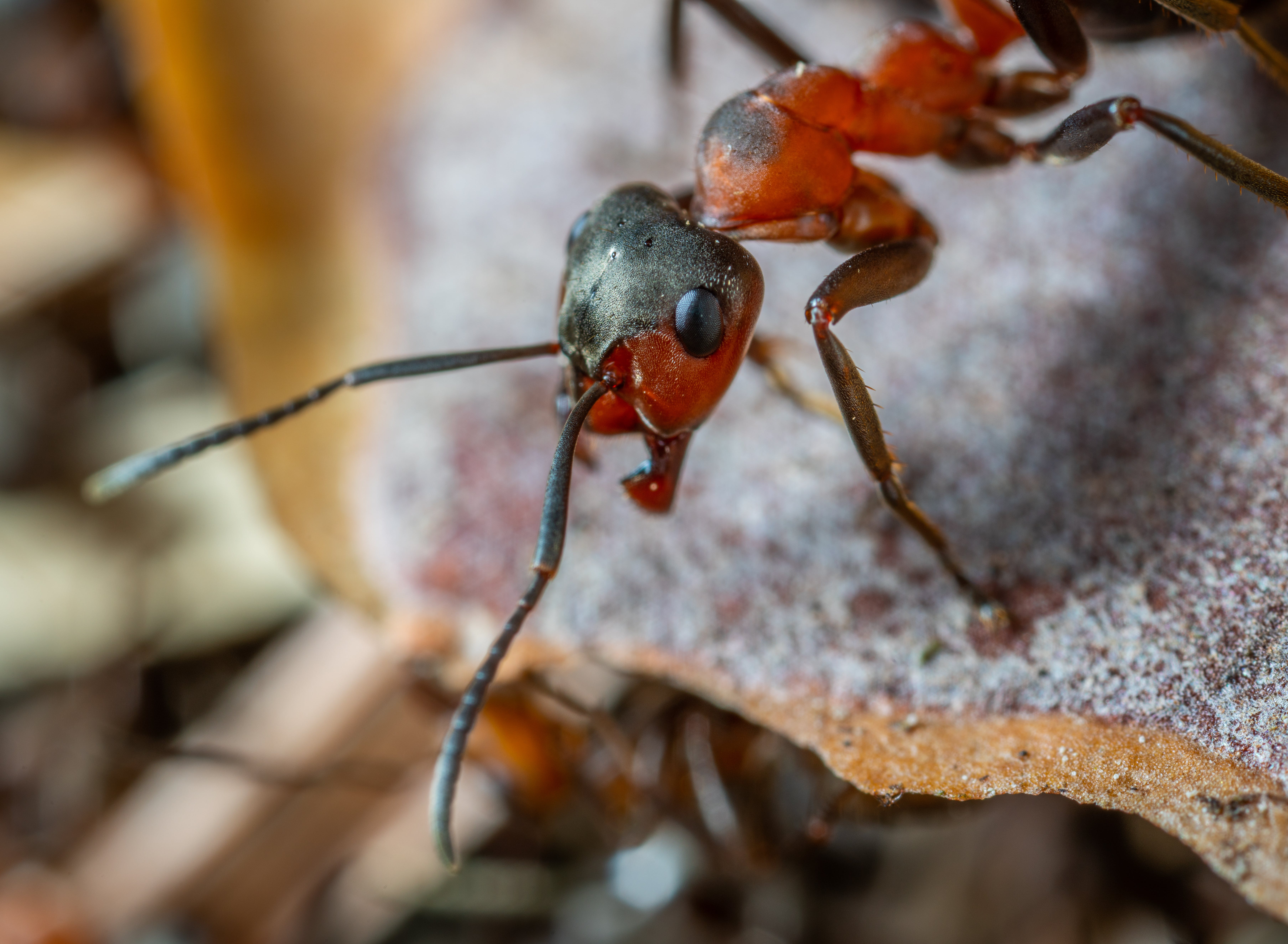 Macro Photo of Red and Brown Army Ant